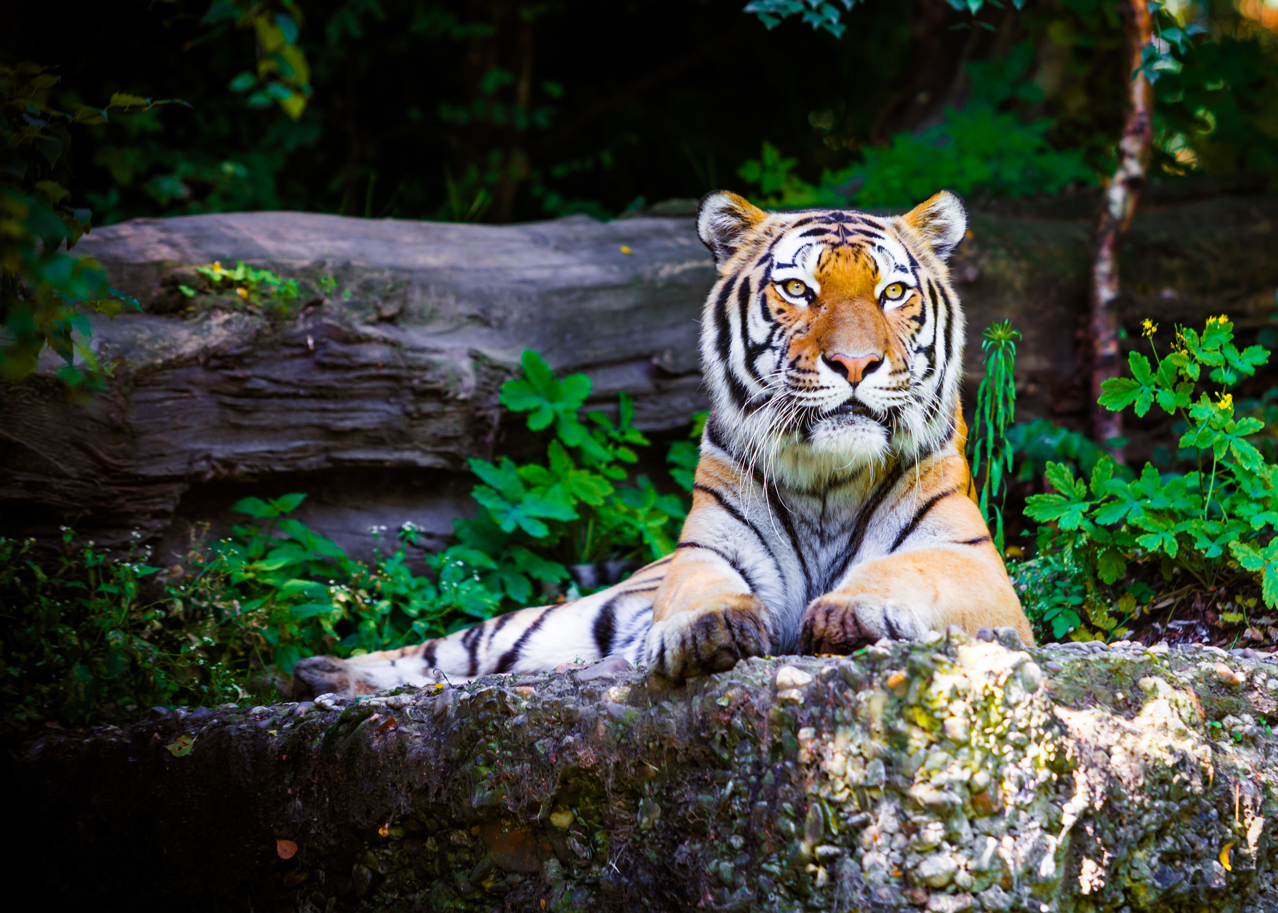 The tiger is one of the most iconic animals in the world