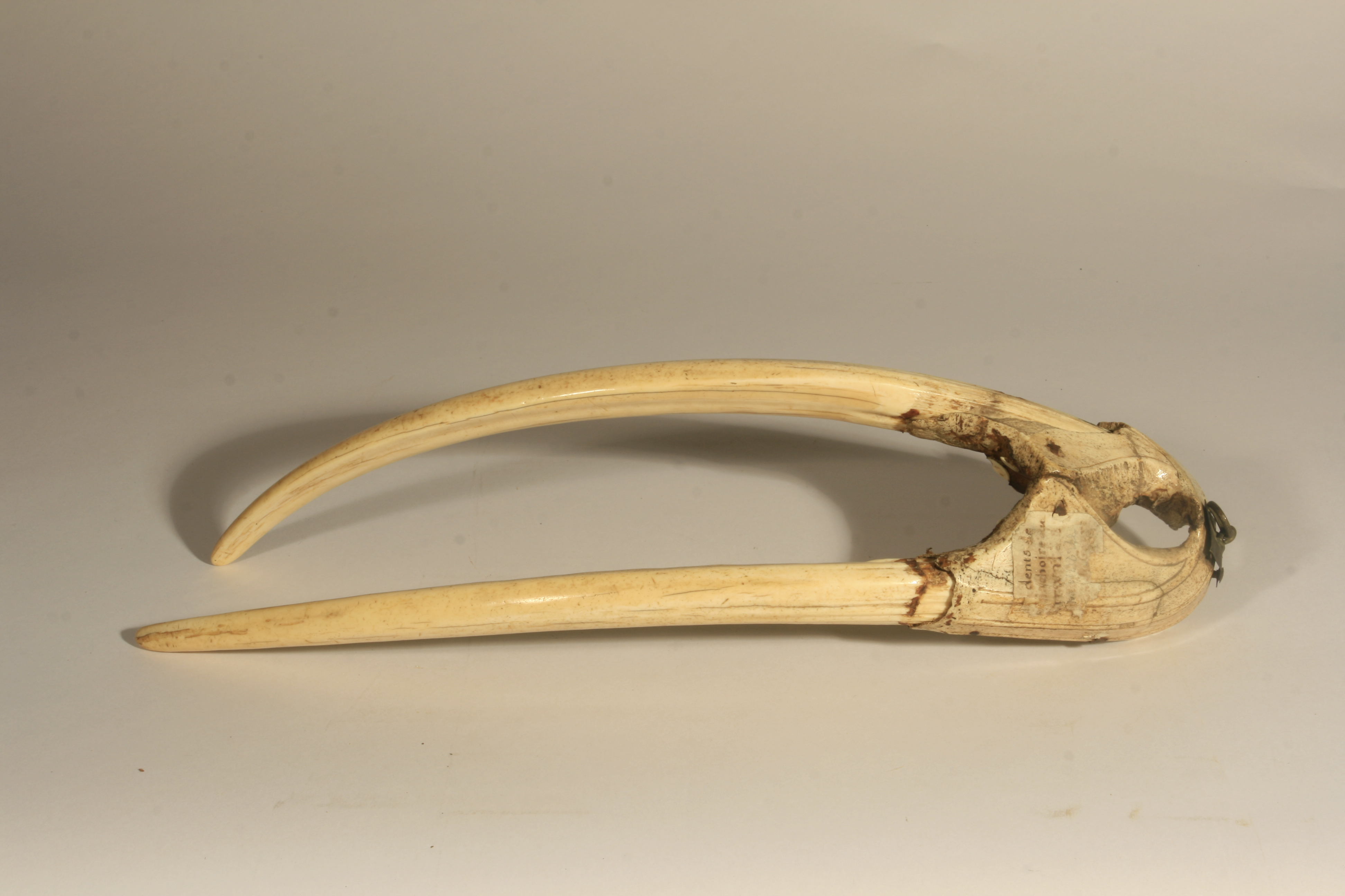 A walrus rostrum with tusks that can be dated to c. 1200-1400 CE.
